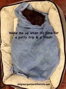 Newfypoo puppy asleep