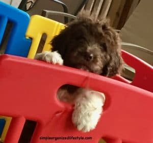 Newfiepoo newfiedoodle puppy
