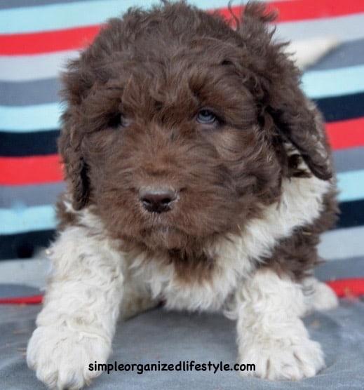 newfypoo newfiedoodle puppy